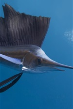 Preview iPhone wallpaper Pacific sailfish, underwater, Thailand ocean