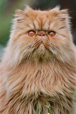 Preview iPhone wallpaper Persian cat, furry kitten
