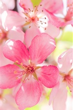 미리보기 iPhone 배경 화면 핑크 사과 꽃 꽃