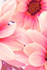 Preview iPhone wallpaper Pink flowers, chrysanthemums