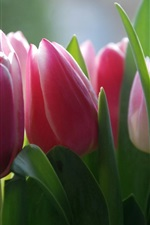 Preview iPhone wallpaper Pink fresh tulip flowers photography