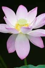 Preview iPhone wallpaper Pink lotus, green leaves, water drops