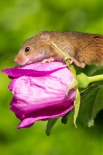 Rosa levantou-se flor e do bebê do rato