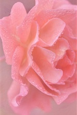 Pink rose flower close-up, water drops