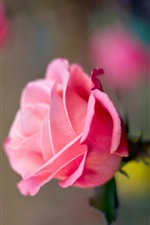 Preview iPhone wallpaper Pink rose flower macro photography, bokeh