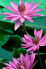 Preview iPhone wallpaper Pink water lily flowers, beautiful, petals, leaves, water