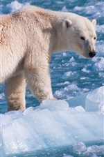 Preview iPhone wallpaper Polar bear at float ice world