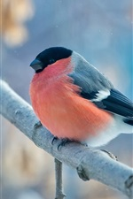 Preview iPhone wallpaper Red and black feathers bird, tree branch