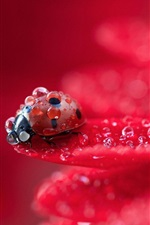 Red flower petals macro photography, dew, ladybug