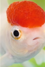 Preview iPhone wallpaper Red head goldfish