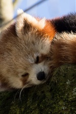Preview iPhone wallpaper Red panda falling asleep