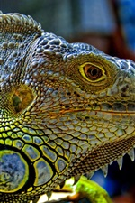 Preview iPhone wallpaper Reptiles green iguana head close-up