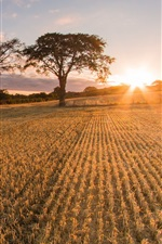 Preview iPhone wallpaper Scotland, sunrise, straw field, trees