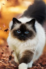 Preview iPhone wallpaper Siamese cat walking in autumn