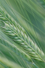 Preview iPhone wallpaper Spring, wheat field, spikelets, green