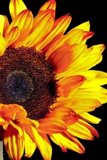 Preview iPhone wallpaper Sunflower photography, black background
