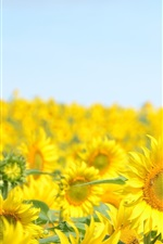 Preview iPhone wallpaper Sunflowers fields, blue sky, summer