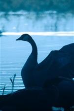 Preview iPhone wallpaper Swan in lake at dusk, wings