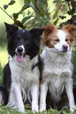 Preview iPhone wallpaper Three dogs, border collie