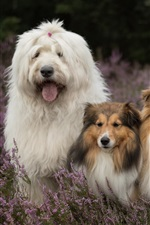 Preview iPhone wallpaper Three dogs in lavender flowers