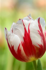 Tulip macro, red white petals