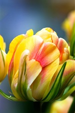 Preview iPhone wallpaper Tulips macro photography, yellow pink petals