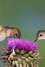 Preview iPhone wallpaper Two Hummingbirds, purple flower