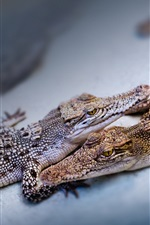 Preview iPhone wallpaper Two baby crocodiles