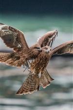 Preview iPhone wallpaper Two eagles, predator, flight, quarrel
