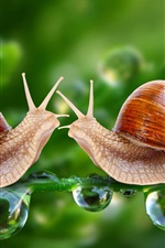 Preview iPhone wallpaper Two snails, face to face, water drops