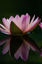 Preview iPhone wallpaper Two water lily flowers, pink petals, leaf, water reflection