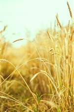 Preview iPhone wallpaper Wheat field, summer, macro photography