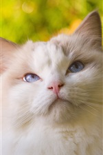 Preview iPhone wallpaper White cat, fluffy, blue eyes