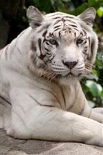 Preview iPhone wallpaper White tiger have a rest