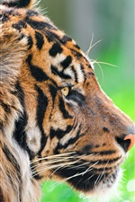 Preview iPhone wallpaper Wild animals, tiger in the grass