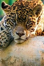 Preview iPhone wallpaper Wild cat jaguar have a rest