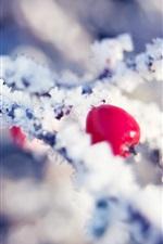 Inverno, neve, geada, cristais de gelo, galhos, frutos vermelhos