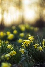 Yellow daffodils, garden
