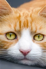 Preview iPhone wallpaper Yellow eyes cat photography
