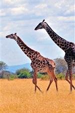 Preview iPhone wallpaper Zebras in African safari