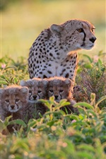 Preview iPhone wallpaper Africa, Tanzania, cheetahs in bushes, mother and cubs