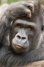 Preview iPhone wallpaper Animals close-up, orangutan, look, reverie