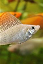 Preview iPhone wallpaper Aquarium, water, orange and white fish