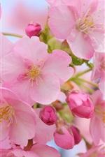 미리보기 iPhone 배경 화면 아름 다운 핑크 체리 꽃, 흐린 봄