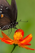 Preview iPhone wallpaper Black butterfly, orange color flower, zinnia