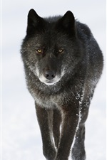 Preview iPhone wallpaper Black wolf in winter