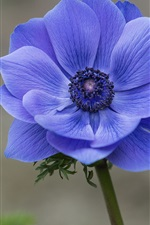 Preview iPhone wallpaper Blue flower close-up, anemone