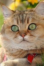British Shorthair, lovely cat