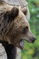 Preview iPhone wallpaper Brown bear, face, mouth