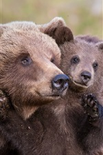 Preview iPhone wallpaper Brown bears, mother and cub
